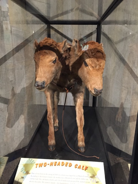a two-headed calf on display at Ohio History Center