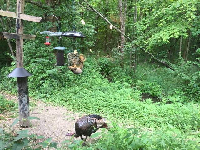 turkey in the woods outside the Nature Center