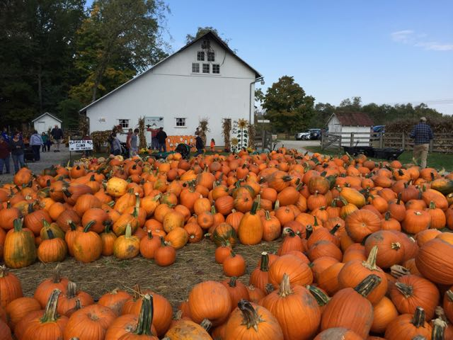 pumpkins at Freeman's Farm near Columbus, Ohio
