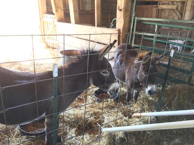 Leeds Farm donkeys