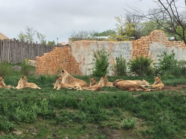Lions in the Heart of Africa at Columbus Zoo and Aquarium