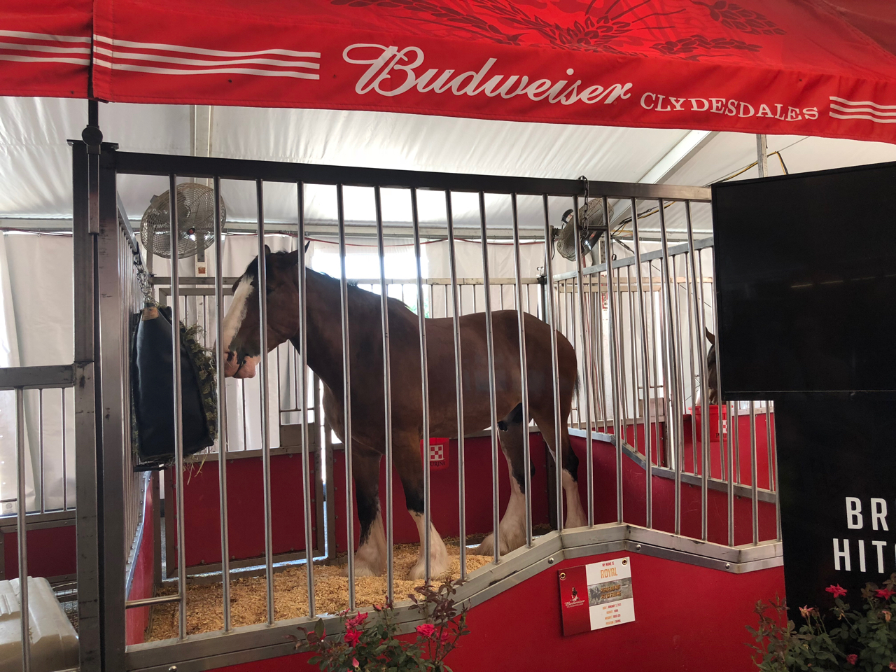 Budweiser Clydesdales at Ohio State Fair