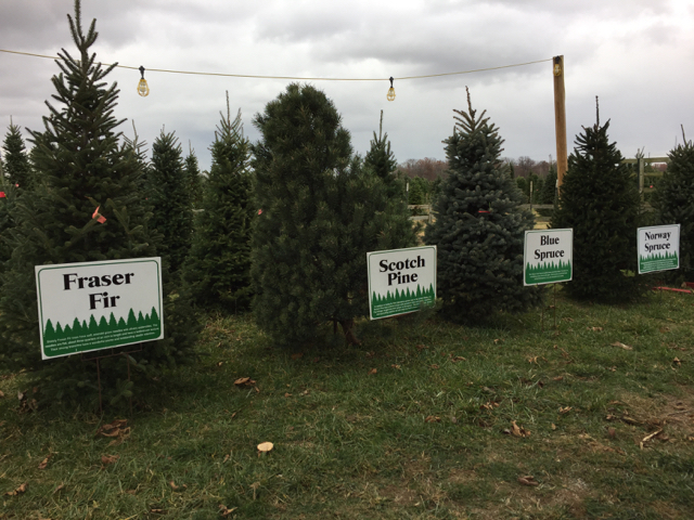 Christmas trees lined up at Christmas Tree farm near Columbus, Ohio