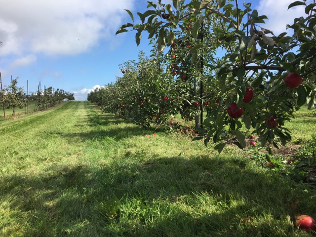 apple trees at Lynd Fruit Farm near Columbus, Ohio