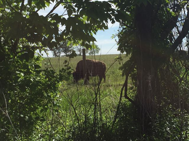 bison in the field at Battelle Darby metro Park, Columbus, Ohio