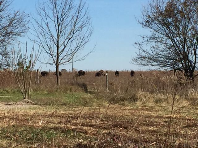 several bison in the field at Battelle Darby Creek Metro Park