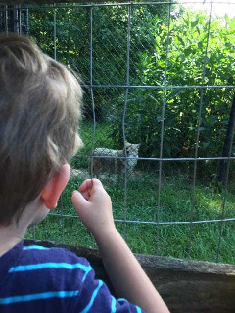 boy looking at a Wolf at an outdoor animal enclosure at Ohio Wildlife Center