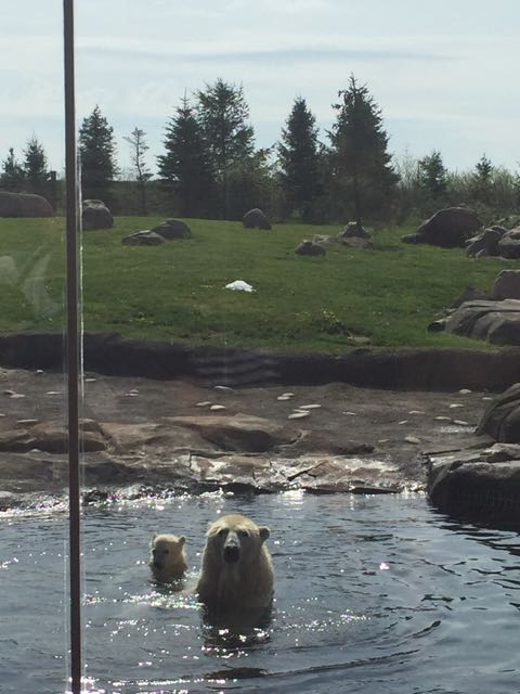 polar bears at the Columbus Zoo and Aquarium