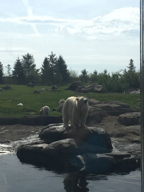 polar bear standing on a rock at the Columbus Zoo