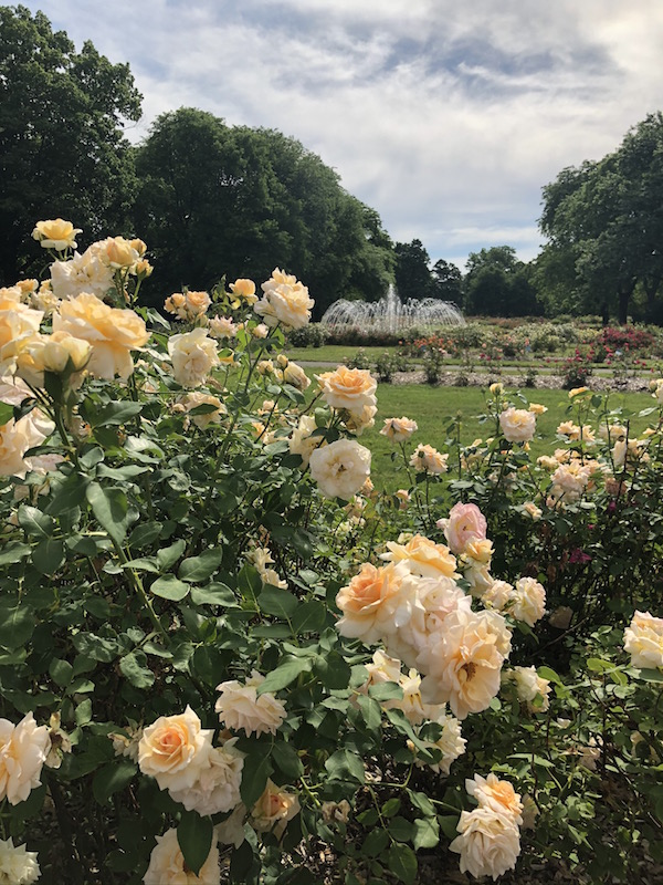 Peach Roses with a fountain in the background in the park.