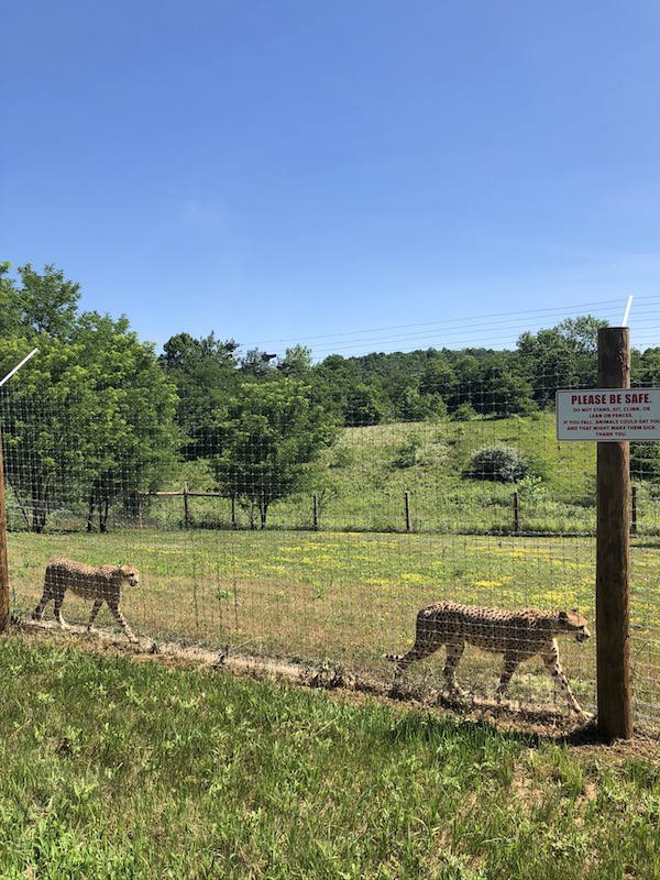 cheetahs at The Wilds in Guernsey County Ohio