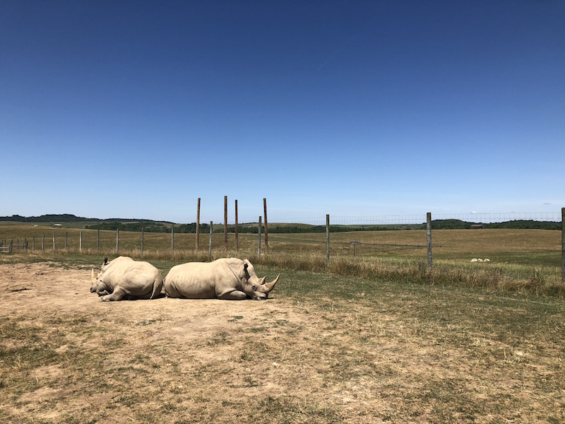 two rhinos laying back to back at The Wilds in Guernsey County
