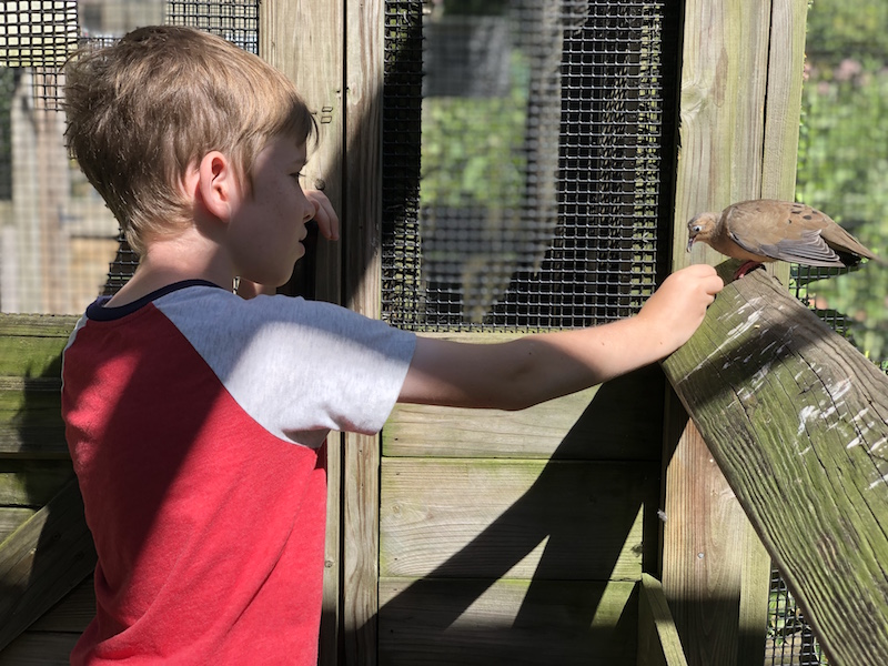 boy feeding a mourning dove in the songbird aviary