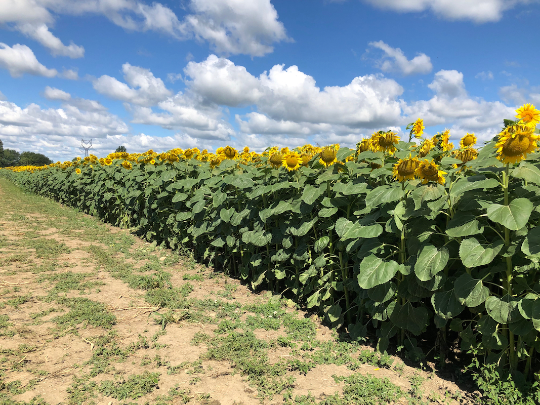 sunflower field at Hendren Farm Market
