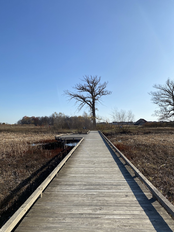 bare tree at the end of a boardwalk at Glacier Ridge Metro Park