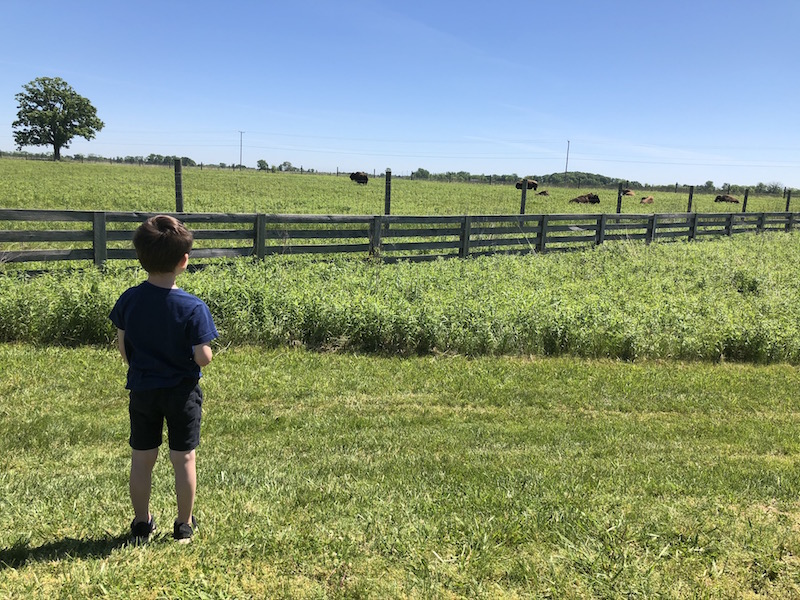 boy looking at the bison at Battelle Darby Creek Metro Park