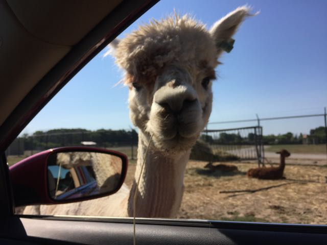 llama poking its head into the car at the African Safari Wildlife Park.