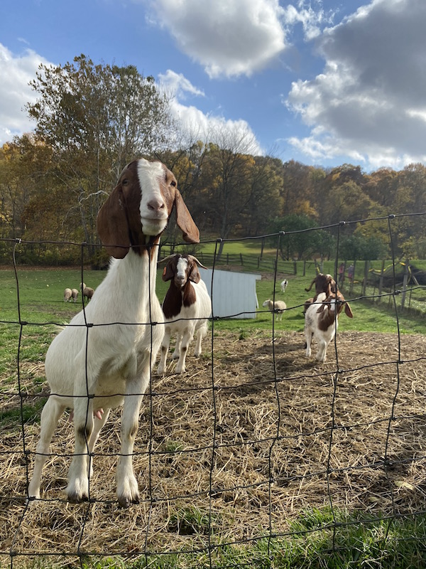 goats behind a fence at Malabar Farm.