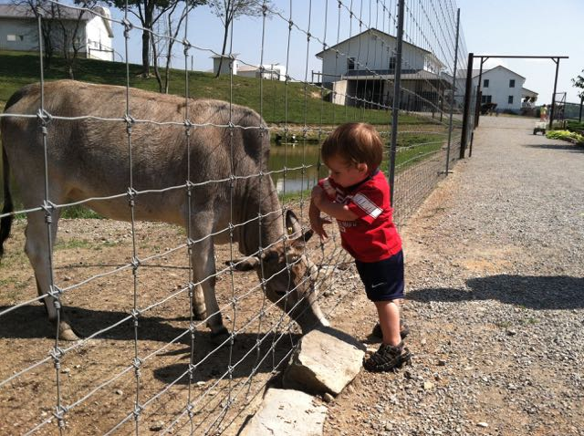 boy reaching through the fence to pet a cow at The Farm at Walnut Creek.