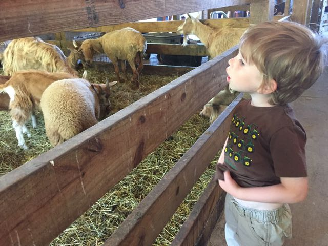 boy looking at the sheep at Stratford Ecological Center, an animal farm in Delaware Ohio.