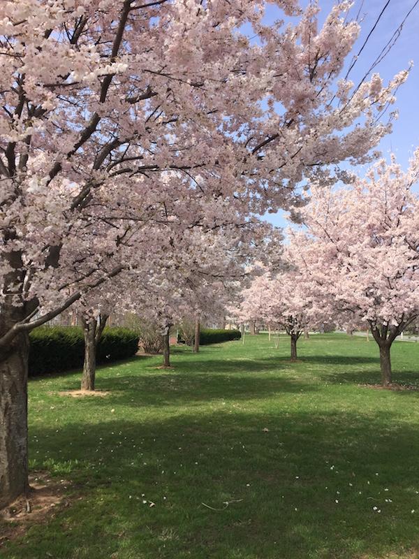 Kwanzan Cherry Trees in Westgate Park.